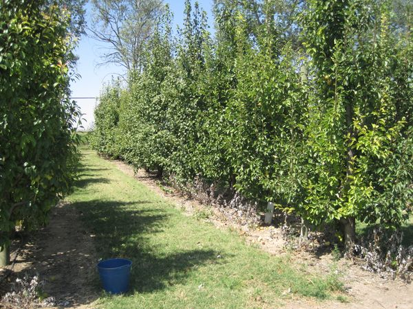 Plantación de perales