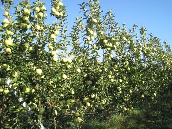 Manzana Golden Paradís